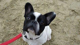 Hazard - French Bulldog - 4 Week Residential Dog Training at Adolescent Dogs