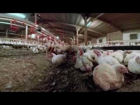 IAnimal - British Pig And Chicken Farms In 360°
