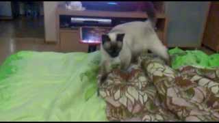 Котенок как щенок бегает за фантиком (Sonya, Siamese Cat)