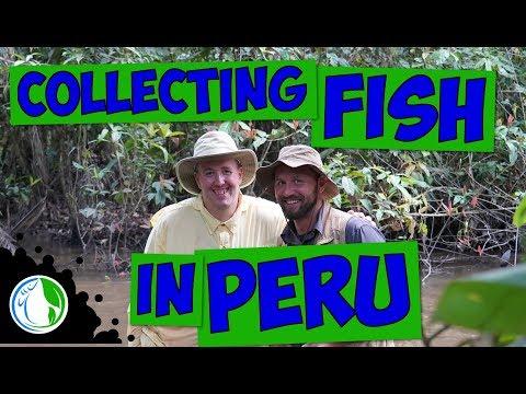 COLLECTING NATIVE AQUARIUM FISH IN PERU