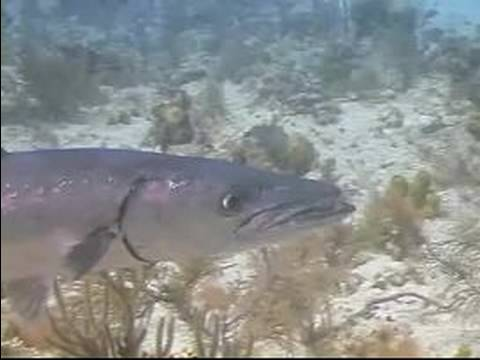 Scuba Diving Tips: Caribbean Fish Identification : How To Identify Great Barracuda