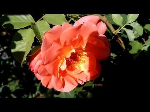 ОРАНЖЕВЫЕ РОЗЫ: кусты розы цветут, видео 2018 (orange rose)