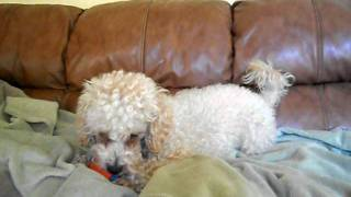 Toy Poodle For Adoption