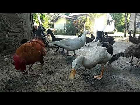 Ternak ayam bersama itik - YouTube