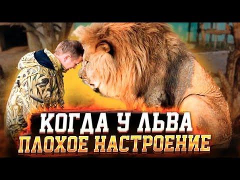 У льва Чука ПЛОХОЕ НАСТРОЕНИЕ ! The Lion Has A BAD MOOD!
