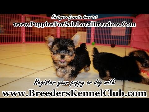 YORKIE PUPPIES FOR SALE GEORGIA LOCAL BREEDERS