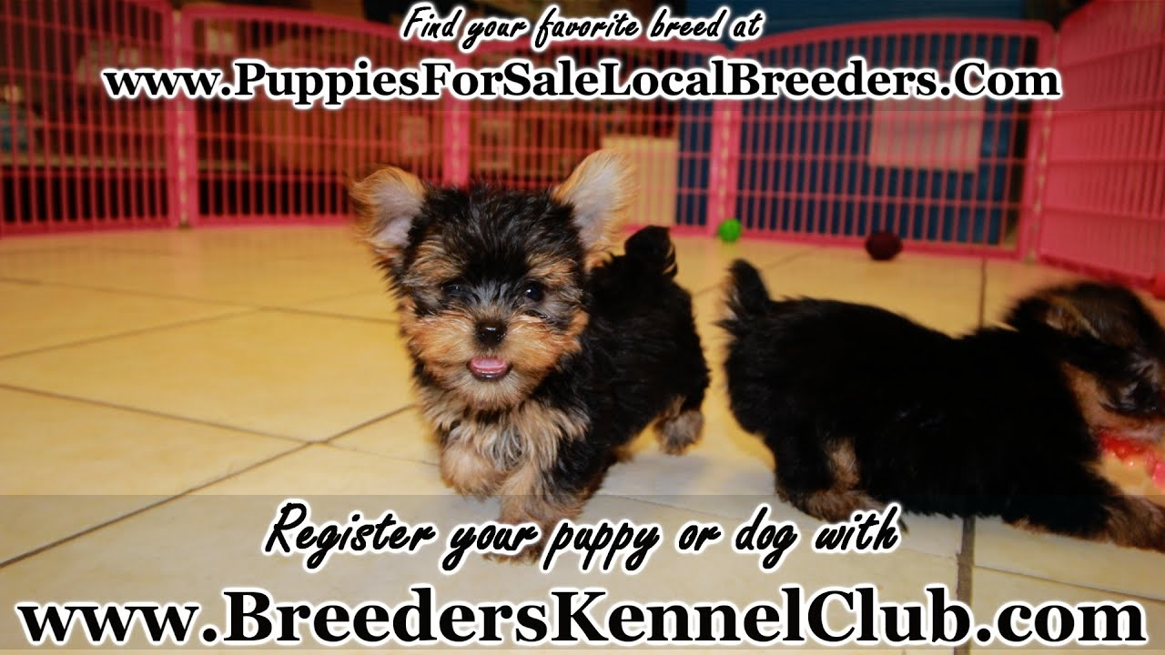 Yorkie Puppies For Sale Georgia Local Breeders Youtube