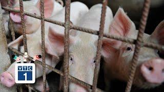 Giá lợn hơi tăng kỷ lục, thương lái có thổi giá?
