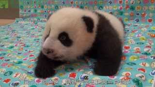 團圓食堂 What does the Giant Panda eat?