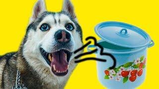 ОРУ В КАСТРЮЛЮ! POTCHALLENGE (Хаски Бандит) Говорящая собака