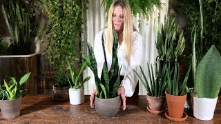 Snake Plant ( Sansevieria ) is an interior designers dream houseplant. Easy to care for and admire.