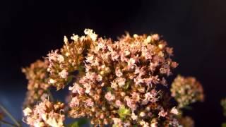 видео Пчела на цветках душицы обыкновенной