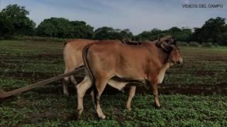 vuclip Así aramos las tierras en El Salvador para sembrar la milpa de invierno.