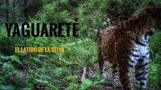 """Jaguar Documentary. """"Esperanza Yaguareté""""  Convivencia entre jaguares y ganaderos."""