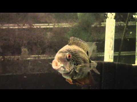 Severum Cichlid Care Video. (Heros Efasciatus)