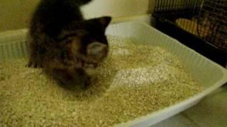 Kitten pooping