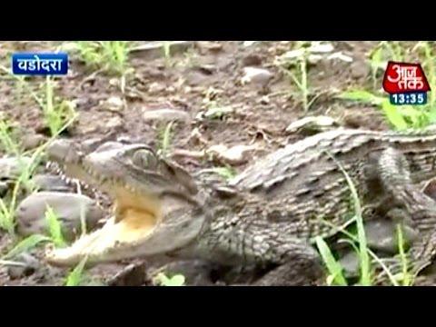 Around 500 crocodiles attack Vadodara
