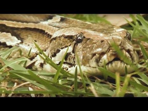 Фермеры подумали, что большая змея съела их телёнка. Но то, что оказалось внутри повергло всех в шок