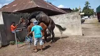 mated horse name pusako maestro x snappy junior  biaro