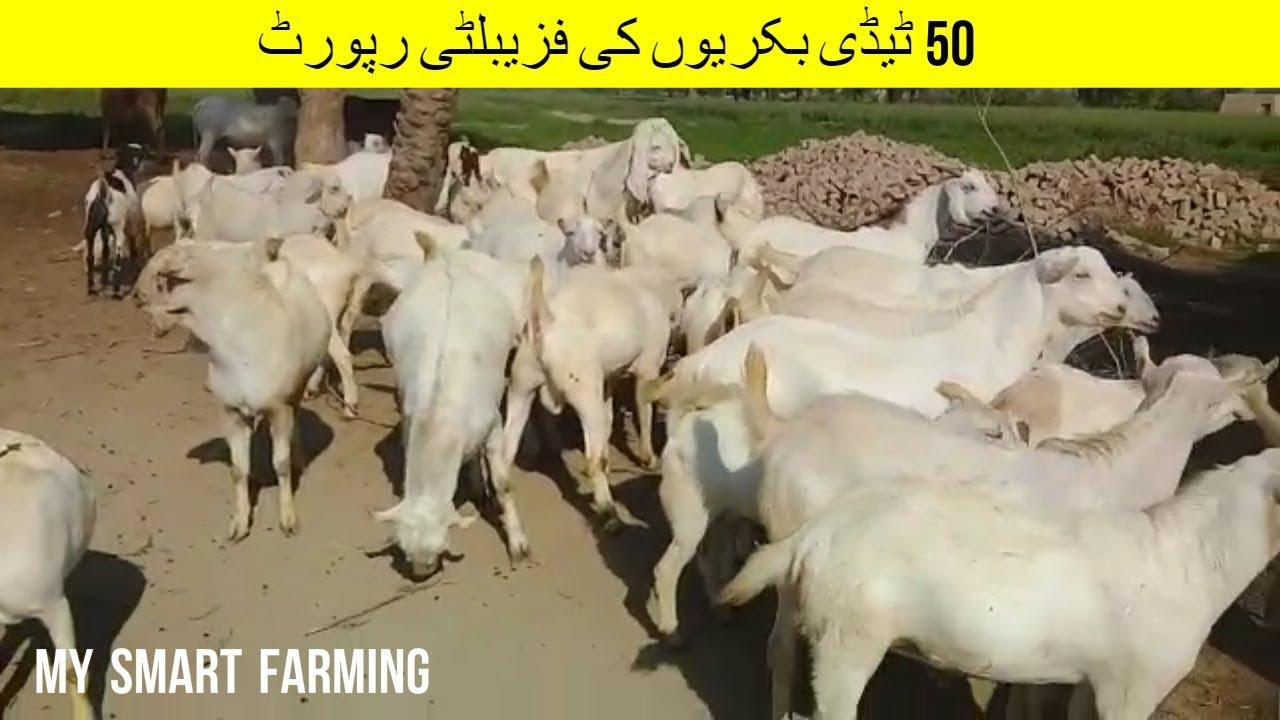 19 | Feasibility report of 50 Teddy goat | ٹیڈی بکریوں کی فزیبلٹی رپورٹ |  Goat Farming