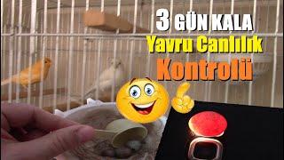 Yeni Kanarya Yavrularımız 3GÜN SONRA Çıkıyor | Yumurta İçinde YAVRU GELİŞİM Ve CANLILIK TESTİ