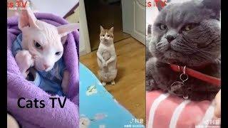 cats tv | tổng hợp các chú mèo tiếu lâm bá đạo nhất thế giới - tik tok cats funny ( video HD )