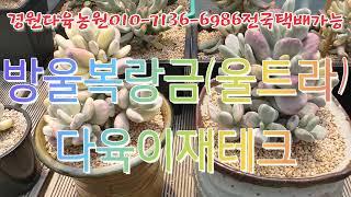 방울복랑금(울트라)/마리아금/다육이재테크  경원다육농장…
