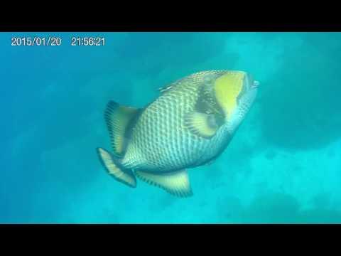 Sea Turtle and Triggerfish Attack at Australia