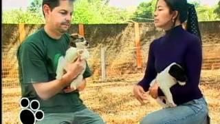 Este bicho é o bicho  Fox Terrier de Pelo Liso