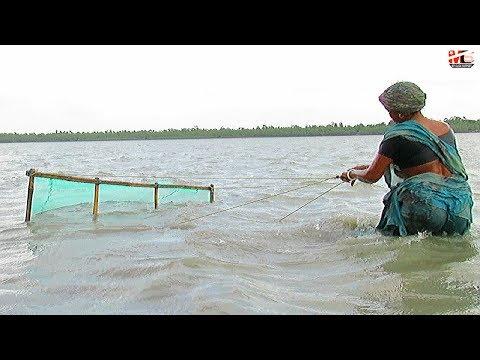 Amazing Women of Sundarbans Collecting Tiger Prawn (Shrimp) Seedings at River