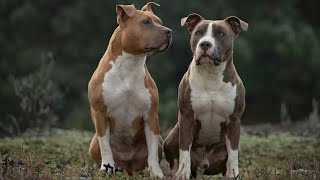 Can American Staffordshire Terriers Live with Other Dogs?