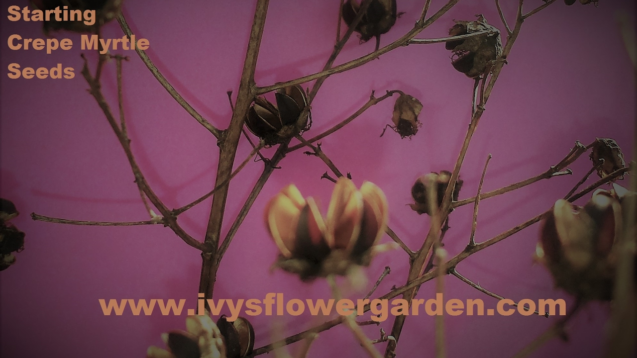 How to germinate crape myrtle seeds james bond casino royale vesper cocktail
