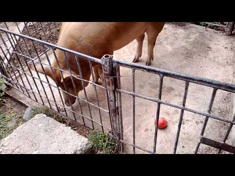 Most Funny Ever Red Pig eating tomato in Bulgarian Village