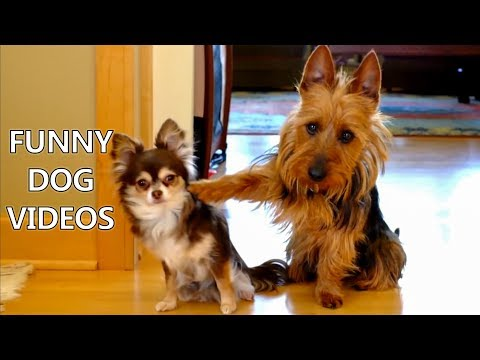 Thumbnail: *Try Not To Laugh Challenge* Funny Dogs Compilation - Funniest Dog Videos 2017