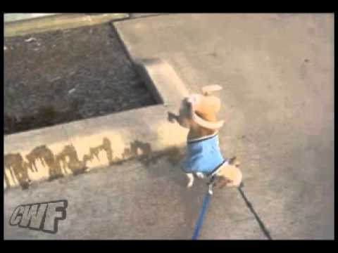 CuteWinFail: Peeing Paw-Stand Puppy
