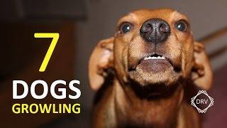 DOGS GROWLING Sound Effect | 7 Sounds to Annoy Dogs HD