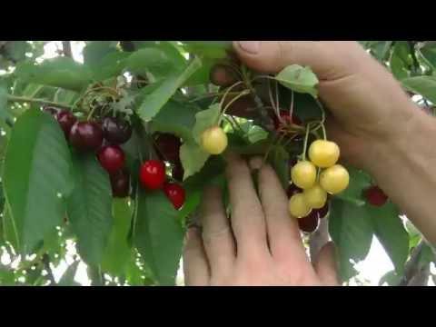 Итоги прививок плодовых деревьев в расщеп.