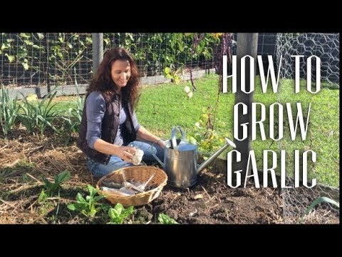 How to grow Garlic from bulbs in a small garden