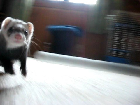Happiest Ferret in the World