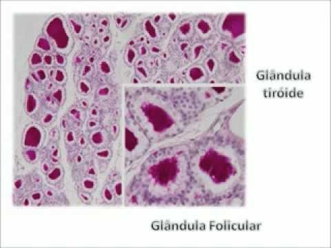 Epitélio Glandular