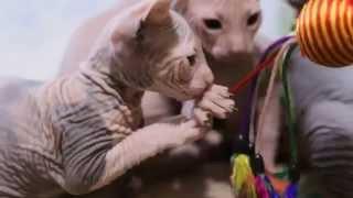 Котята донского сфинкса (2 мес.)