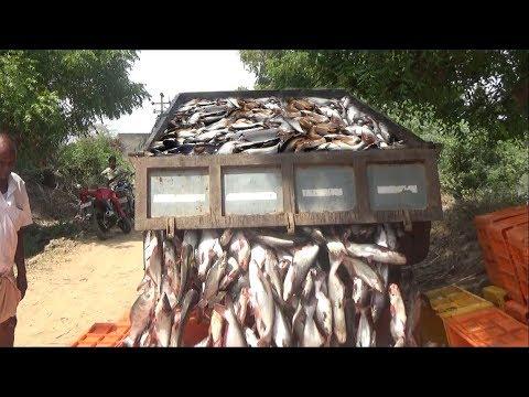 PANGASIUS/BASA FISH HARVESTING
