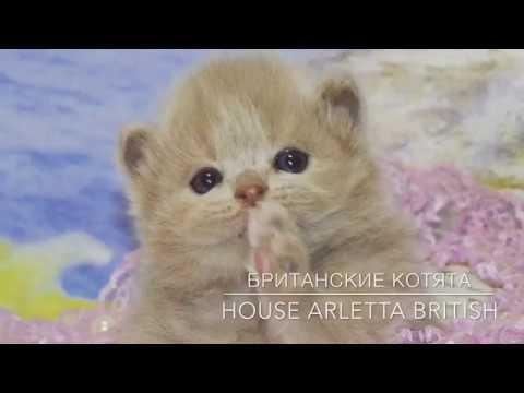 Питомник Британских котят/продажа. - YouTube