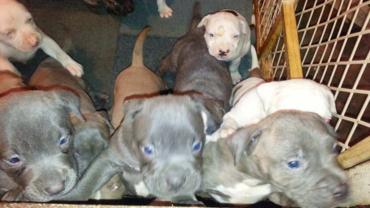 Blue Nose Pitbull Puppies For Sale In Newark Nj 550y Youtube