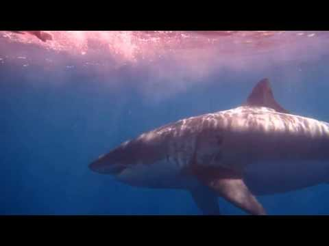 HUGE 18 FT Great White Shark - Guadalupe Island