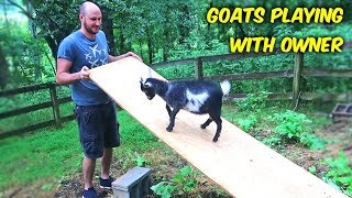 Goats Playing With Owner