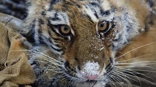 Saving A Siberian Tiger Cub - Operation Snow Tiger - BBC