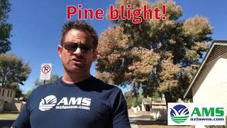 Aleppo Pine Blight In Phoenix
