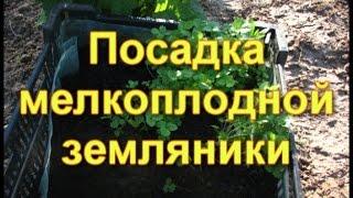 видео Клубника ремонтантная выращивание из семян, фото, посадка и размножение и уход в открытом грунте