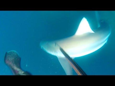 SPEARFISHING - Aggressive Auckland Sharks - New Zealand